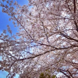 【 🌸伊豆高原桜並木満開🌸 】