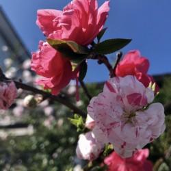 【 仲春 春分 桜始開🌸 】