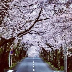 【 桜満開🌸🌸🌸 】
